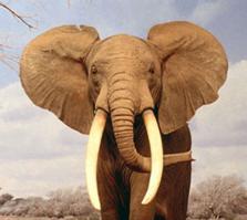 Elefante-1